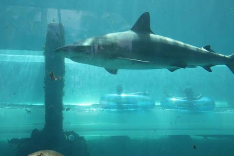 tiburones-nassau.jpg
