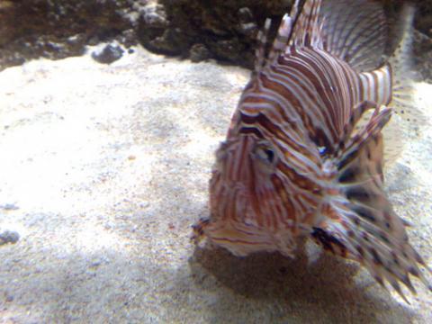 pez-leon.jpg